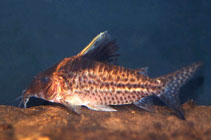Image of Corydoras robustus