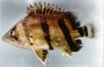 Image of Datnioides undecimradiatus (Mekong tiger perch)