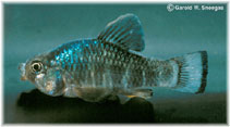 Image of Cyprinodon variegatus (Sheepshead minnow)