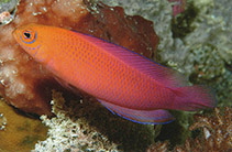 Image of Cypho zaps (Checkered dottyback)