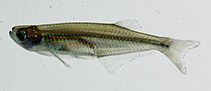 Image of Denticeps clupeoides (Denticle herring)