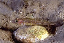 Image of Deltentosteus quadrimaculatus (Four-spotted goby)