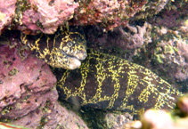 Image of Echidna catenata (Chain moray)