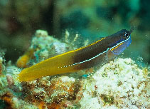 Image of Ecsenius tricolor (Tricolor coralblenny)