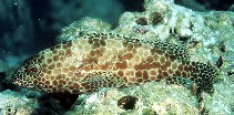 Image of Epinephelus merra (Honeycomb grouper)