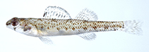 Image of Etheostoma davisoni (Choctawhatchee darter)
