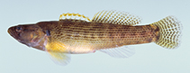 Image of Etheostoma flabellare (Fantail darter)