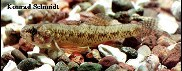 Image of Etheostoma microperca (Least darter)