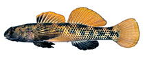 Image of Etheostoma podostemone (Riverweed darter)
