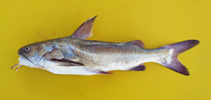 Image of Galeichthys feliceps (White barbel)