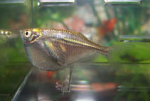 Image of Gasteropelecus sternicla (River hatchetfish)