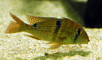Image of Geophagus harreri (Maroni eartheater)