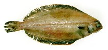 Image of Glyptocephalus cynoglossus (Witch flounder)