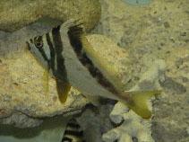 Image of Cheilodactylus gibbosus (Western crested morwong)
