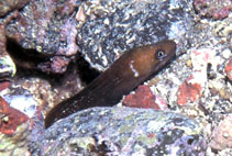 Image of Gymnothorax bacalladoi (Canary moray)