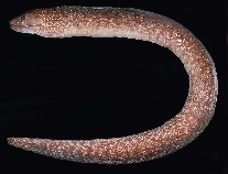 Image of Gymnothorax chilospilus (Lipspot moray)