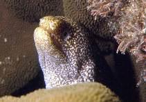 Image of Gymnothorax eurostus (Abbott\
