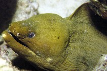 Image of Gymnothorax funebris (Green moray)