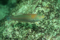 Image of Halichoeres dispilus (Chameleon wrasse)