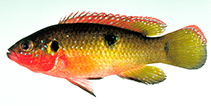 Image of Hemichromis letourneuxi (Jewel fish)