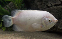 Image of Helostoma temminckii (Kissing gourami)