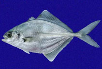 Image of Hemicaranx zelotes (Blackfin jack)