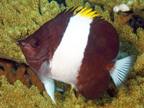 Image of Hemitaurichthys zoster (Brown-and-white butterflyfish)