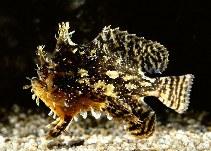 Image of Histrio histrio (Sargassumfish)
