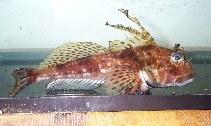 Image of Icelinus filamentosus (Threadfin sculpin)
