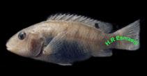 Image of Iranocichla hormuzensis