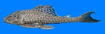 Image of Isorineloricaria spinosissima (Zucchini catfish)
