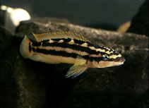 Image of Julidochromis ornatus (Golden julie)