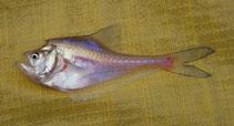 Image of Kurtus gulliveri (Nurseryfish)