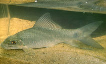 Image of Labeo coubie (African carp)