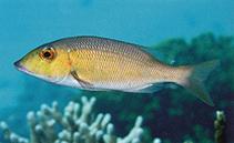 lethrinus amboinensis ambon emperor fisheries