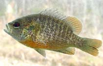 Image of Lepomis miniatus (Redspotted sunfish)