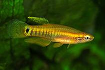 Image of Leptolucania ommata (Pygmy killifish)