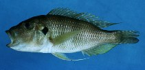 Image of Limnochromis abeelei