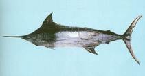 Image of Makaira mazara (Indo-Pacific blue marlin)