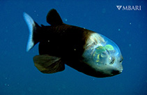 Image of Macropinna microstoma (Barreleye)