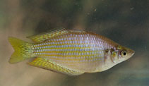 Image of Melanotaenia splendida (Eastern rainbowfish)