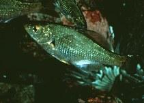 Image of Micrometrus aurora (Reef perch)