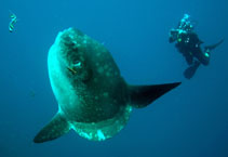 Image of Mola mola (Ocean sunfish)