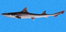Image of Mustelus lunulatus (Sicklefin smooth-hound)