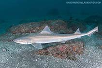 Image of Mustelus manazo (Starspotted smooth-hound)