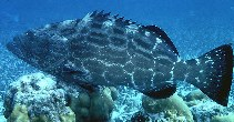 Image of Mycteroperca bonaci (Black grouper)
