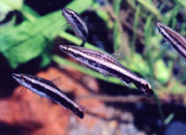 Image of Nannostomus eques (Brown pencilfish)