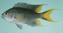 Image of Neopomacentrus taeniurus (Freshwater demoiselle)