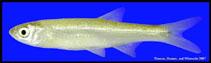 Image of Notropis atherinoides (Emerald shiner)