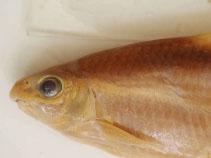 Image of Onychostoma gerlachi